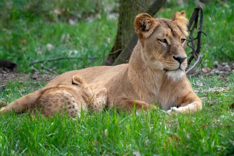congolese leeuw