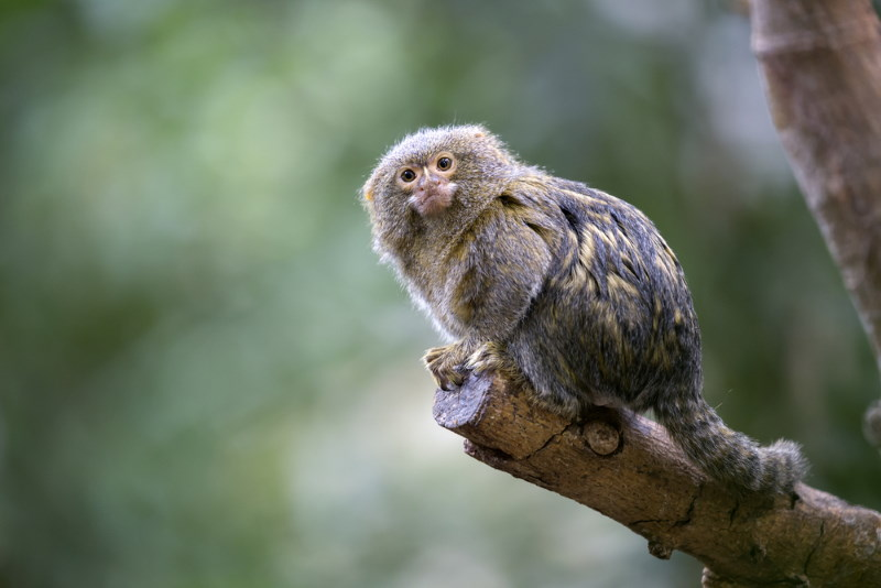 dewergzijde aapje