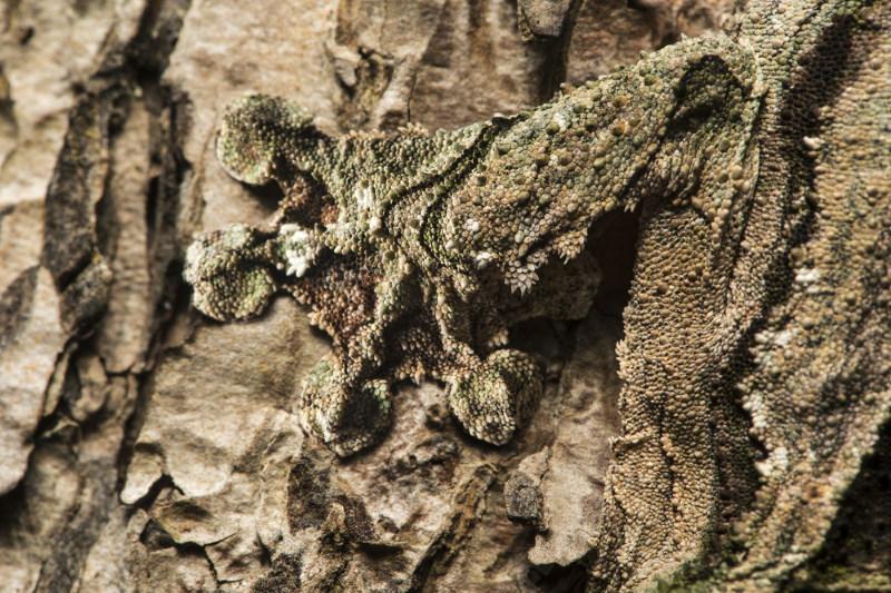 gekko camoufleren