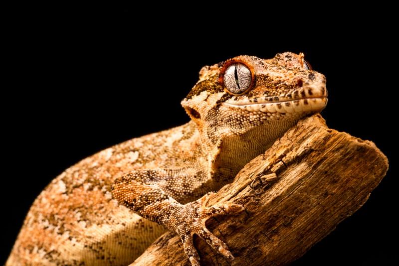 gekko kan oud worden