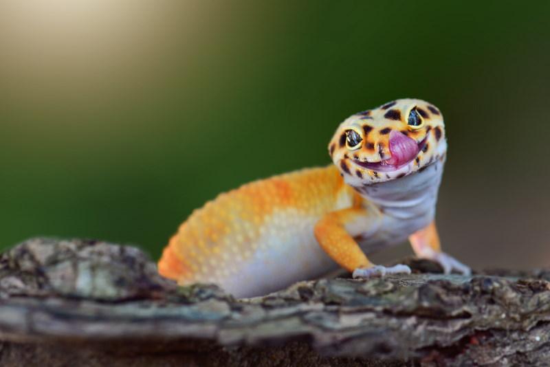gekko likt ogen