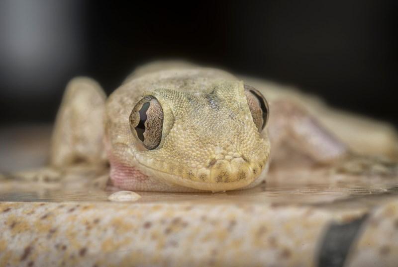 gekko ogen