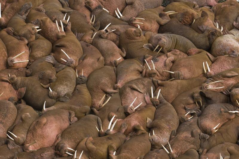 groep walrussen
