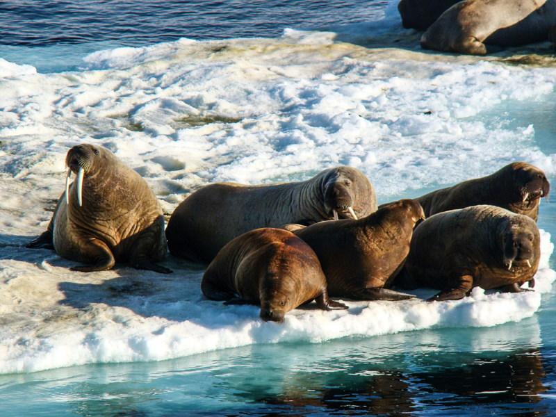jonge walrussen