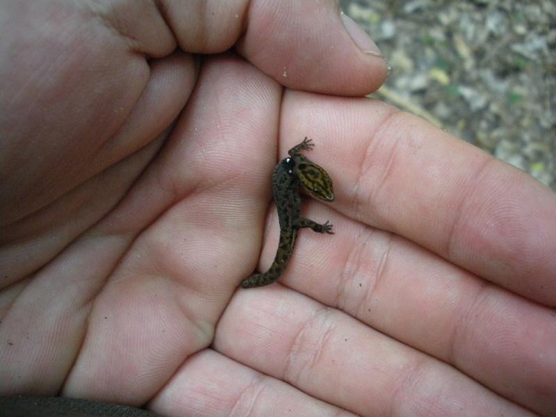 kleinste gekko