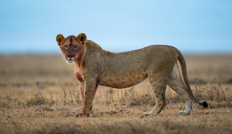 oost afrikaanse leeuwin