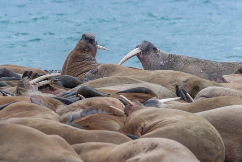 paringstijd walrussen