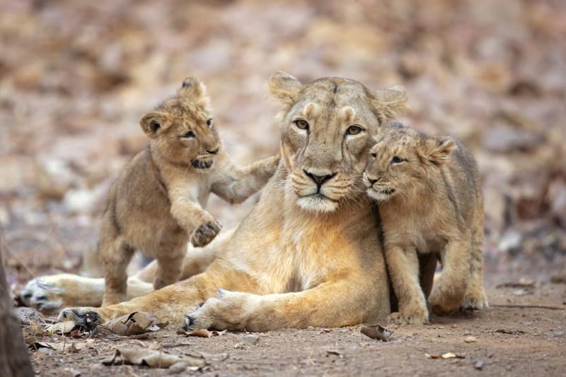 perziche leeuw vrouwtje