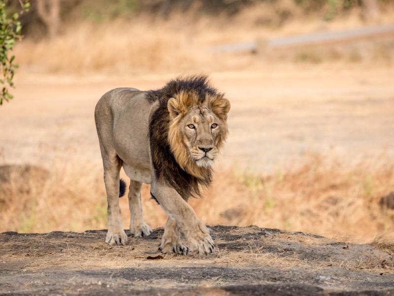 perzische leeuw