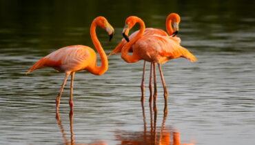 rode flamingo