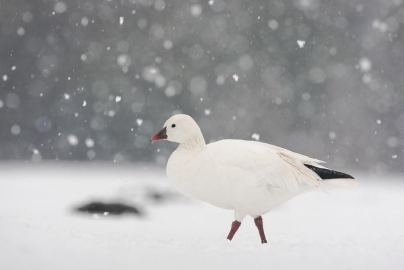 sneeuwgans