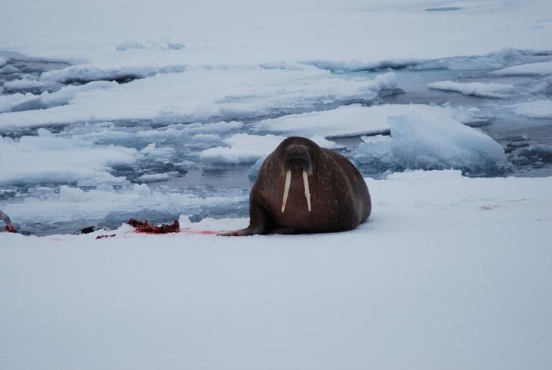 walrus eet een zeehond