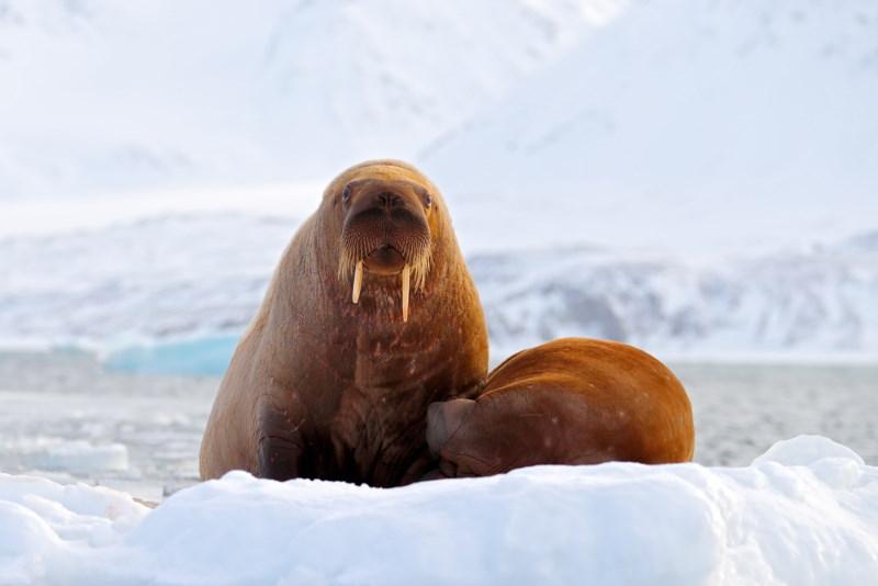 walrus jong