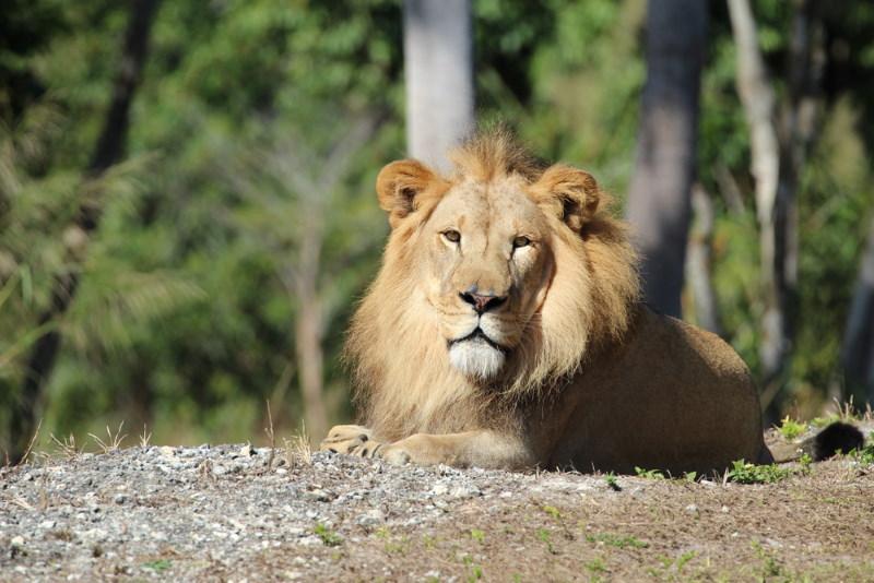 west afrikaanse leeuw