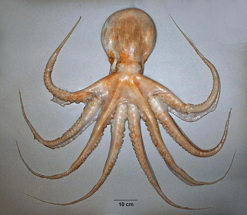 Enteroctopus zealandicus