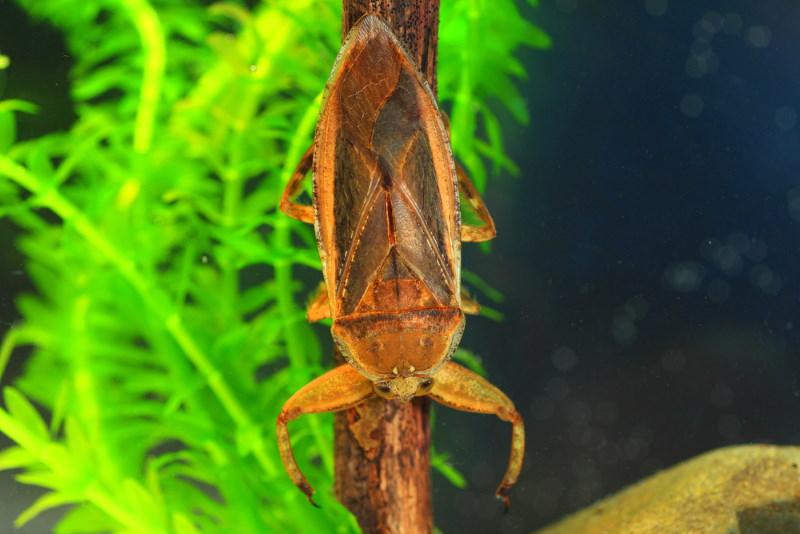 Lethocerus deyrollei