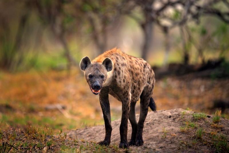 hyeana kan oud worden