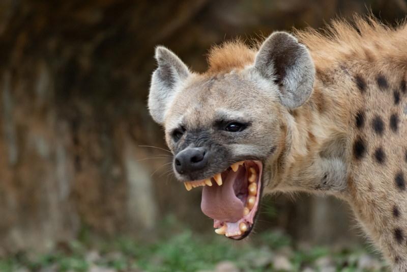 hyena kaken