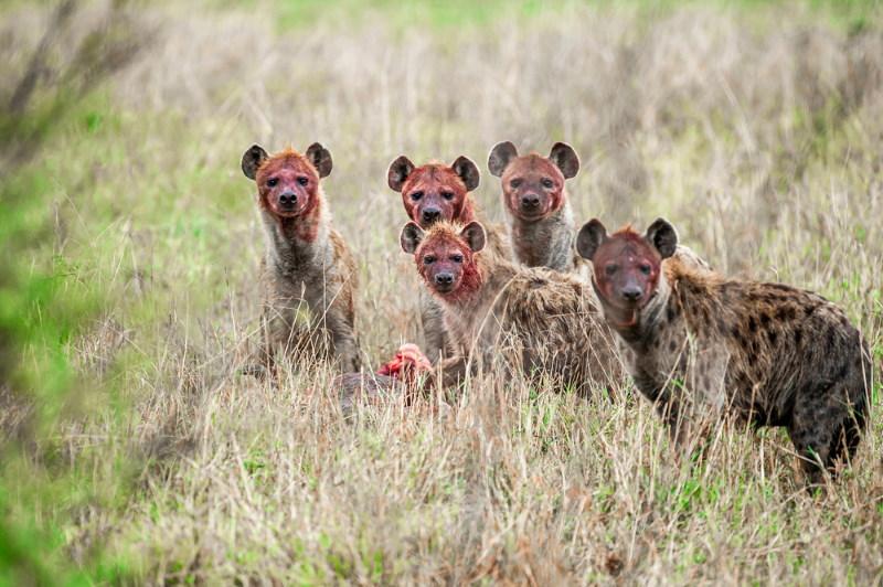 hyena roofdier