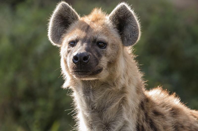 hyenas slim