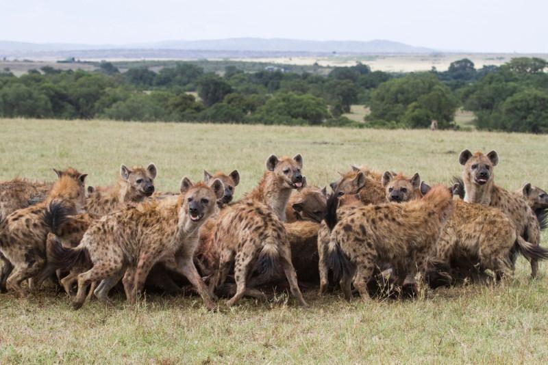 sociale structuur hyenas