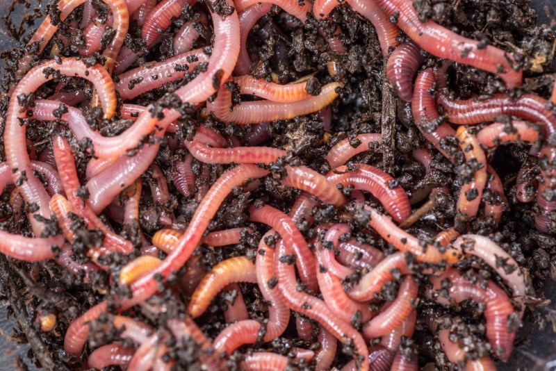 veel soorten regenworm