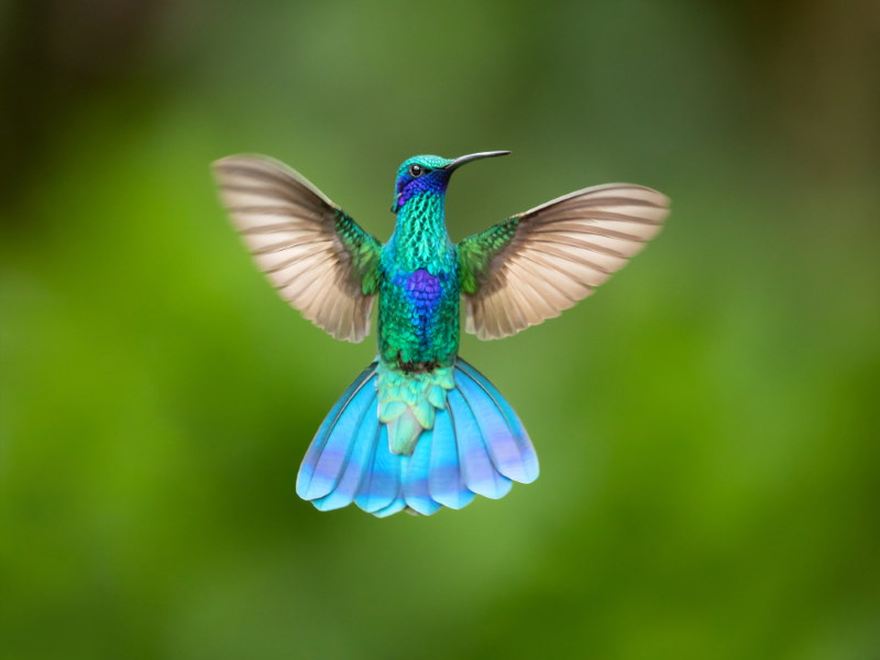Kolibrie 3