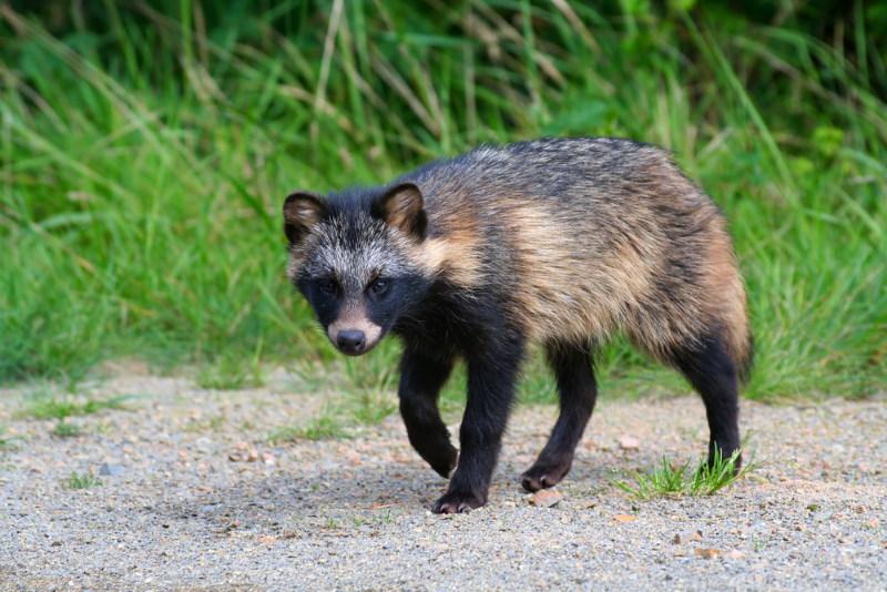 Wasbeerhond 3