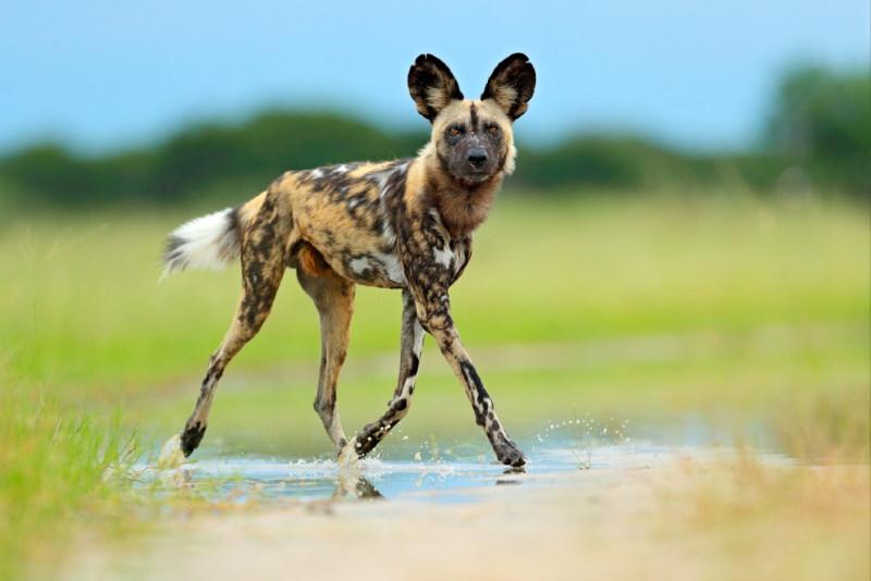 afrikaanse wilde hond 2