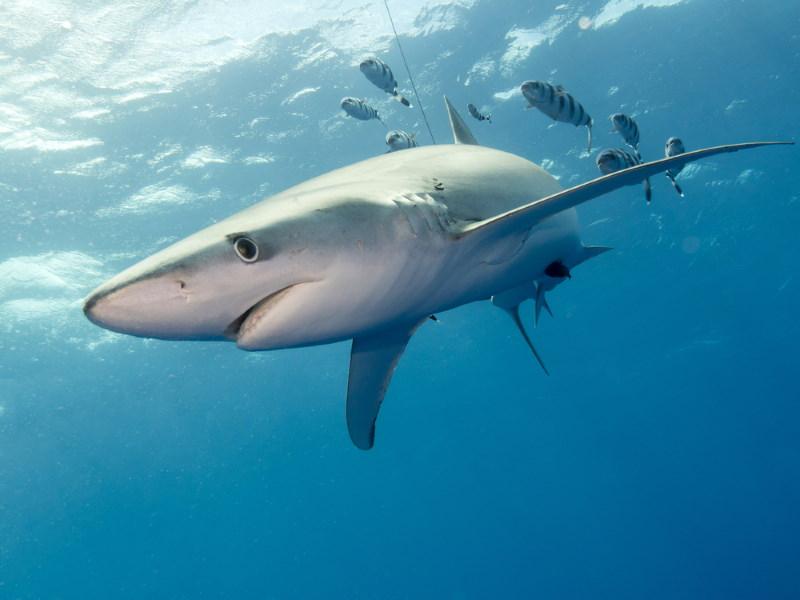 grote blauwe haai