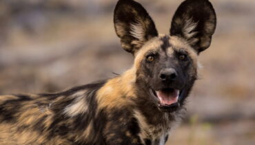 grote oren