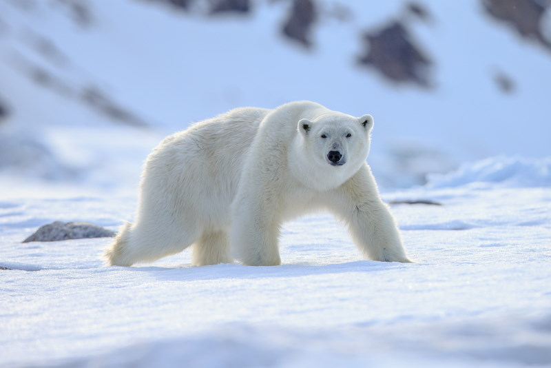 ijsbeer 4