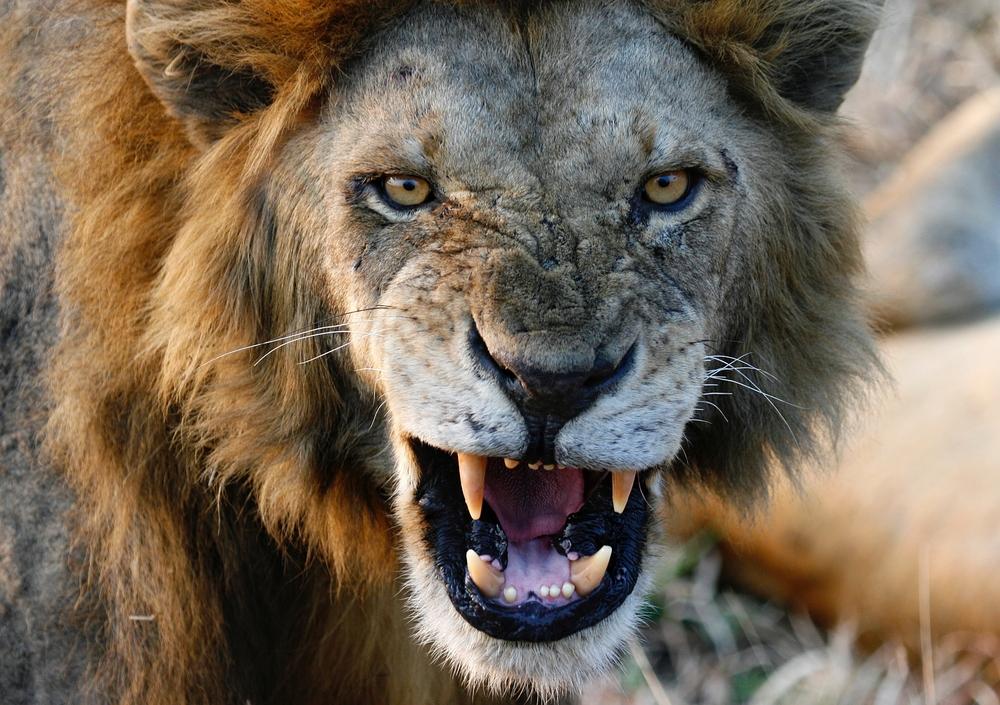 leeuwenaanval