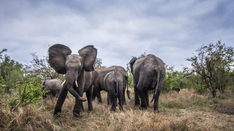 olifanten aanval