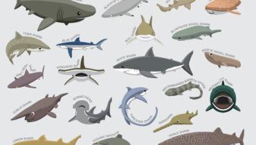 orden van haaien