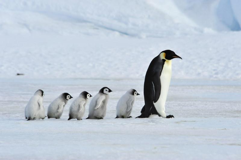 pinguin waggelen