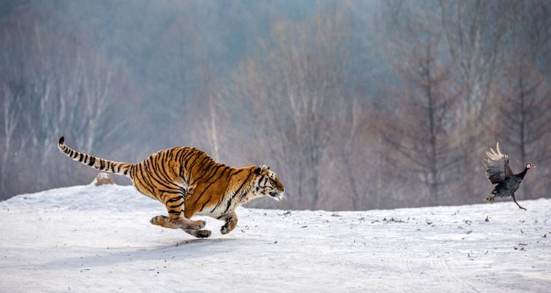 tijger roofdier