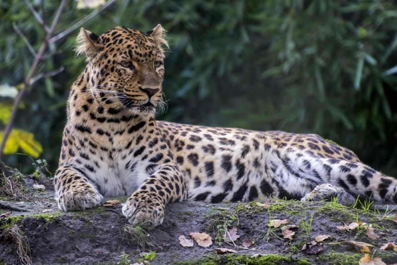 Indochinese leopard