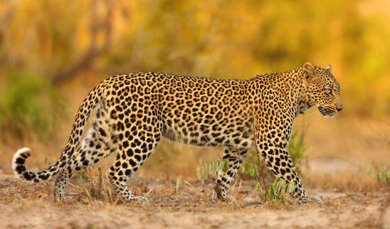 afrikaanse luipaard