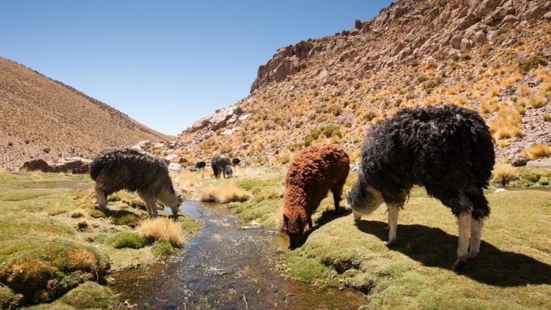 alpaca drinken