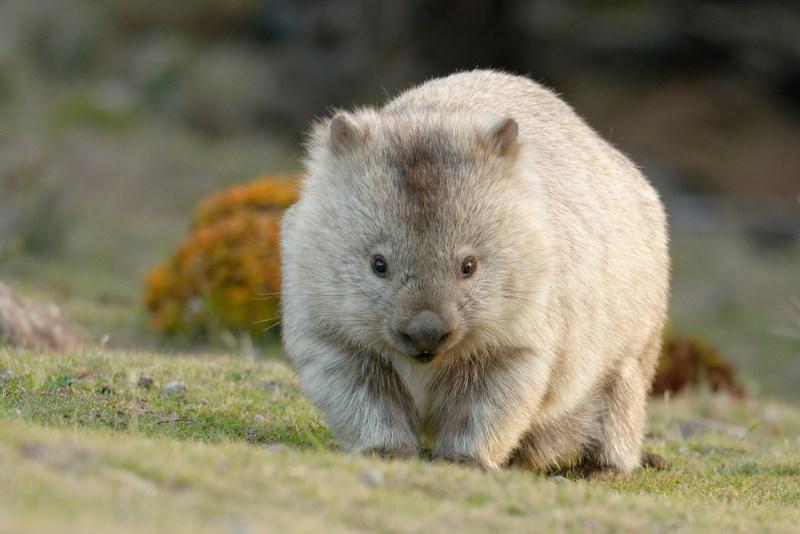 gewone wombat