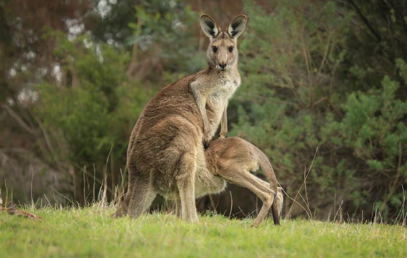 kangoeroe 3
