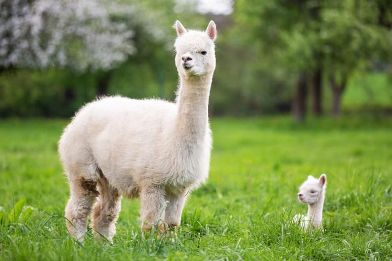 lang zwanger alpaca