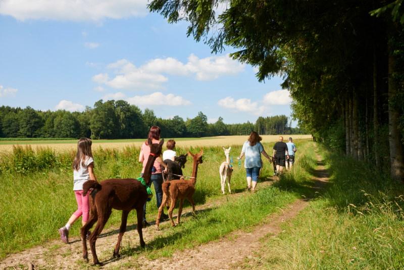 wandelen met alpaca
