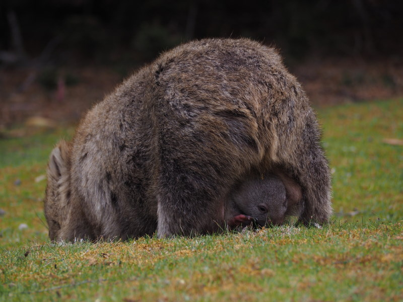 wombat buideldier