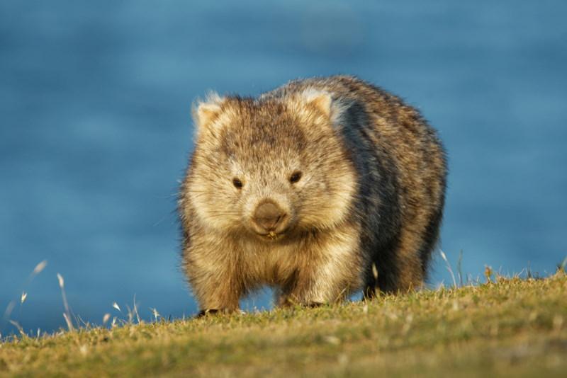 wombat geen knuffeldier