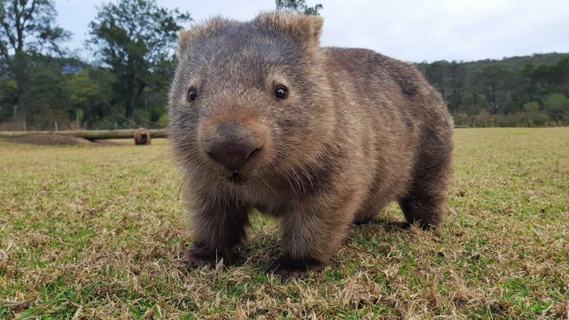 wombat is best snel