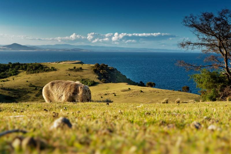 wombat solitair
