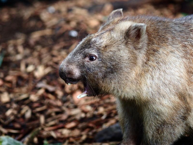 wombat tanden