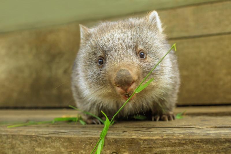 wombat vegatieren